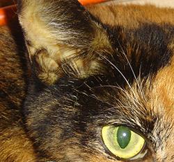 Симптомы желтухи у кота