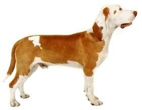 http://www.veterinarka.ru/images/stories/ispan_gonchaja.jpg