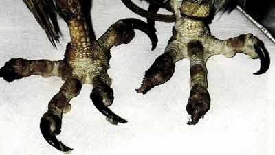 Конечности балобана (F. cherrug) с недавно утраченными когтями