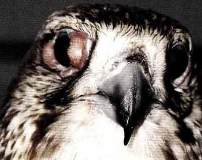 Оспенные папулы на веках обоих глаз и восковице у балобана