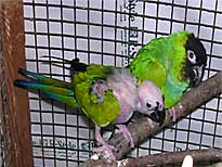 Попугаи нандайя