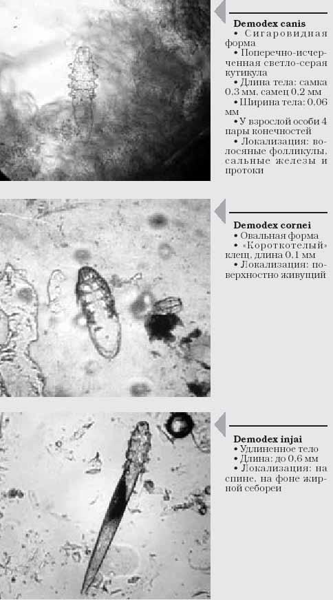 Морфология некоторых видов клеща рода Demodex, паразитирующих на собаках