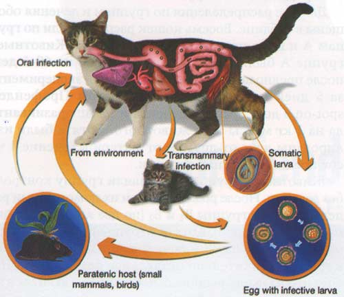 Рис. 2. Жизненный цикл Тохосага cati