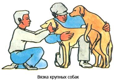 Вязка крупных собак с инструктором