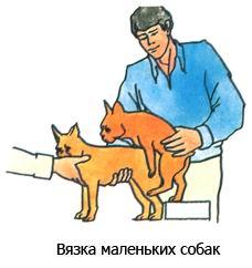 Вязка малых пород собак с инструктором по вязке