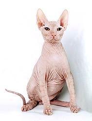 Сфинкс (Голая кошка)