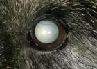 Катаракта у собак и кошек