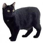 Мэнская бесхвостая кошка (Мэнкс)