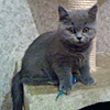 Британские котята п-ка Silvery Snow Москва - последнее сообщение от SilverySnow