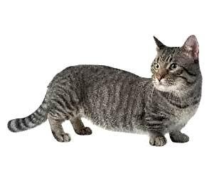 кошки таксы манчкин