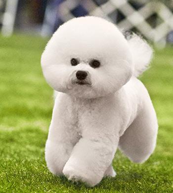 фото собаки породы бишон фризе