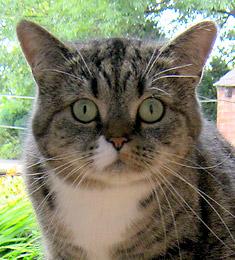 Если кот метит после кастрации